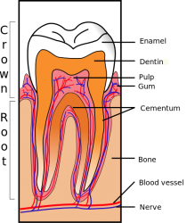 Tooth_Section for blog