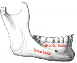 Mandible labelled